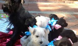 Miniature schnauzers puppies for sale born on October 8th 2012. There are two white males and two black females.