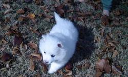 we have 3 female Miniature American Eskimo pups they very healty and Beautiful,they have great personalities with children and will come with ckc papers,and they have there shots records we have gone done on the price as low as we canplease Call