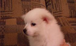 8 week old little fluff balls ready for new home! Both males. Mom is 10 pounds, dad is 17 pounds.