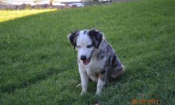 Steel is a beautiful 6 month old, blue merle male, miniature australian shepard. He has 2 blue eyes and is registered through the ASDR. He is very friendly and will make a great addition to your family. asking $100 702-375-7091 or 702-378-7808