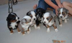 Almost ready. Beautiful Miniature australian shepard puppies. 2 black tri females, 1 blue merle tri male and 3 blue merle tri females. All the merles have blue eyes. These pups have amazing markings. Dew claws removed and tails docked. Parents on site.