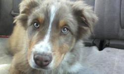 Miniature Australian shepherd puppy for sale in anaconda. 3 months old. First shots. Very playful and good with kids. Needs lots of room to run and play. Cant keep him beacuse im in an apartment and he is too big and not enough room for him to run and
