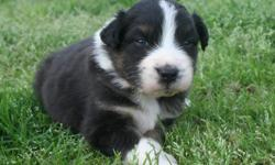 We have Puppies! Pups were born June 23th 2011. Puppies will be ASDR registered. Only 4 to choose from!***FLASHY MARKINGS*** Black tri's. Dad and mom are BET carriers. We are a small kennel dedicated totally to the Australian Shepherd Breed. Our dogs are
