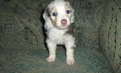 Cowgirl Kennels near Lozano has seven beautiful, healthy and loving Miniature Australian puppies available now. Their puppies are kept up to date on vaccinations and dewormed regularly. Puppies are pet quality, so we recommend they are spayed or neutered,