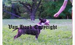 Ziggy; D.O.B: 7/19/2009 Ziggy is a wonderful brindle and white miniature bull terrier. He has a wonderful disposition and has great markings. Dam is import from Australia, with Champion blood lines; Sire has Champion bloodlines, both are registered with