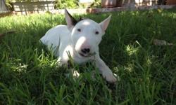 TOP QUALITY MINIATURE BULL TERRIER PUPPIES Sold as Pet For 2000 each, White Males ONLY, Ch Bloodlines, Serious Buyers ONLY call --, We are Located in Los Angeles Ca,Delivery is available at an additonal cost.  CREDIT CARDS OK HABLO ESPANOL