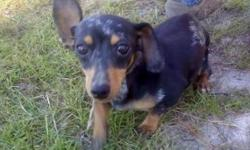 We have a Blk/Silver Dapple Male Miniature Dachshund (little over 3 1/2 yrs old) that we want to find a really great home for. CKC Reg. Asking $200. We are looking for someone to love him, and care for him, giving him lots of attention. Please call -- or
