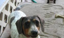 Capt Jack Spare Row is AKC registered stud dog. This Blue & Tan Piebald has lots of ticking. He's shy to start with, but warms up to strangers rather quickly. He'd do well in a kennel, or as a pet. He doesn't do well with small children, but is a delight