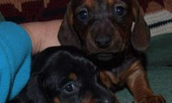 2 female available - one black/tan one red, both short haired. 6 weeks on on Valentines day! Parents full blooded on site, no papers. Dewormed and first shots. $200.00 561-357-7000
