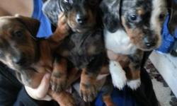 we have 7 week old mini dachshunds ready for their new forever families, they have 1st shots an been wormed, i have mom an dad here at my home the puppies dont have papers due to mom being rescued, but they have beautiful colors an a couple have one blue