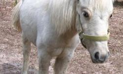 White miniature horse mare, Halter trained has coggins 16 months old $500.00 call (386) 235-4390