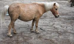 I have 2 minitature Horse Mares for sale, $500 each. They are both friendly and good pets. Height is between 30-32 inches tall. Foxy Roxis is a Palomino and Carmel is a red & white Pinto. Both are bred back to my red & white Pinto Stud. They should have