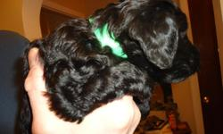 Black Miniature Labradoodles.  Parents are 22 - 25 pounds and 16 inches to shoulder.  LOW-SHEDDING, HYPO-ALLERGENIC.  Ready Jan 2nd. Phone --