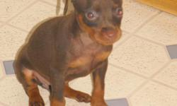 APRI registered Chocolate and Rust boy ready to go to his new home! Tail, dews, wrmg, and 6 and 8 week vaccines done. Visit our website for additional pics and info at: www.habsminpins.yolasite.com