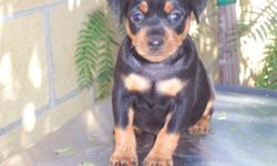 MINI PIN FEMALE PUREBRED READY ON JANUARY 7/11 WAS BORN NOVEMBER 9/10 CALLS ONLY 714 469 06 49 DANEL NO EMAILS MOM DAD NOT FOR SALE ONLY PUPPY CALL 714 469 06 49 IAM TAKING DEPOSIT ON HER SO IF U WANT IT COME AND LEAVE A DEPOSIT.