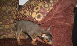 Family raised min pin pups. tails and declaws are done. vet checked,males and females. Blatan also rare choctan. very playful and good with kids. will be small mother and father under 10lbs. for more info please call 561-688-3930 thank you