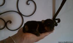 I HAVE 2 MINIATURE PINSCHER PUPPIES FOR SALE. THEY ARE CKC REGISTERED, BLACK, & BOTH BOYS. THEY TURN 6 WEEKS OLD ON 7/5/11. THEY HAVE HAD THEIR TAILS DOCKED AND THEIR SHOTS.
