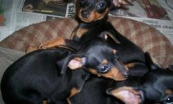 Beautiful little home raised babies will be 9 lbs. full grown blks.UTD on all shots/wormings 9 weeks .registered with papers. Tails and dewclaws removed...