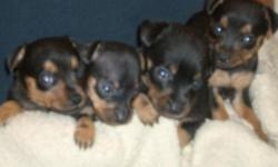 Purebred non registered Miniature Pinschers. Born 9/16/2010 these will be available fully vaccinated and dewormed around the first week of December. There are 2 Black & Tan males and 1 Black & Tan female still available. This is a terrier and loves to