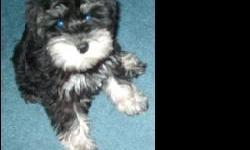 """SCHNAUZER HOLLYWOOD (""""We put Schnauzers in the spotlight"""") presents an AKC (Smallest of the 12"""" - 14"""" at the withers AKC acknowledges for Miniature Schnauzer) Female. Over 70 Champions in bloodline, beautiful - healthy, Dark Salt & Pepper, Tail docked,"""