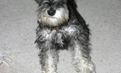 SCHNAUZER HOLLYWOOD presents the best female Miniature Schnauzer available for sale in the Toledo and surrounding area. With over 70 Champions in pedigree, Parents (and sibblings) on sight, excellent pet (real head turner) and for excellent breeding