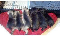 Asking $300.They are ckc registered. Mom and dad are on site. We have one black female one black male one salt and pepper female and one salt and pepper male. If interested please call or text ()-- or ()--