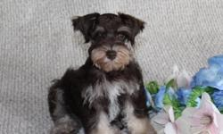 If you want an UNIQUE Miniture Schnauzer for you and your family, you have come to the right place!!! I just can't say enough about this WONDERFUL breed of dog. They are exceptional protectors, have unbelievable family loyality, very intelliegent,