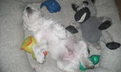 I have a litter of MINIATURE SCHNAUZER puppies ready for their new homes. They have had their first set of shots, regular worming and CKC Registration. There are 2WHITE males and 1 salt- n- pepper female. The puppies are happy and