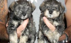 Minature schnauzer puppy for sale, 1 salt & pepper male left.  Puppy is raised in my home and is well socialized. His tail has been docked and dew claws removed.  He has been vet checked and had his first set of shots.  He is ready for