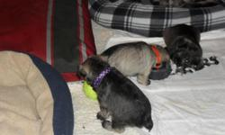 Miniature Schnauzer puppies born 1-1-11 five total, one male and four females. Puppies will be ready end February great Valentine present. Already went to Vets. for Dock Tail/Remove Dewclaws. Updated with there first shot and de-wormed ever two weeks. Dam