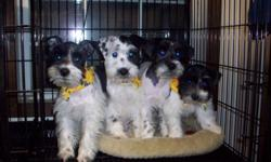 3 Female black and white Parti-schnauzers left.  Tails and dew claws done. Will be up to date on shots and ready for thier new homes on Aug. 26th 2012, at 12 weeks of age.  Mom and Dad are both AKC reg. I can e-mail you pictures if you