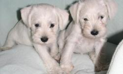 Beautiful miniature schnauzers puppies, two available, white 7 weeks old. pure bred, tail docked, started potty train. call 512 945 3332