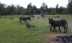 I have my herd For Sale!!!! I have 4 Jennys with babies on ground and are due 2013 spring/summer. I have the stud Jack for sale also. They range in full grown size from 30 inches to 34 inches from the withers. I will also sale per pair mom and baby for