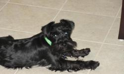 1 year old solid black male miniture schnazer for sale. Very friendly and affectionate with children and other animals. All vaccines are current and is already registered with the AKC society for breeding purposes. Has not been breed thus far and is also