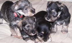 Four Mini-Schnauzer pups born June 9, 2001. 2 males and 2 females. AKC pending, show quality. Males $500 w/o papers and $600 with papers. Females $600 w/o papers and $700 with papers. Call or email at (541) 826-3229 or lakotallc@hughes.net for more info.