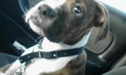 He is a 16 week old Male Boxer Pup (not nutered) Tail is docked but duclaw still in -- Last seen Sunday 11/25 around Mississippi and Lipan. Serious Reward - No questions Asked