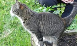 Missing 9 year old, male, brown tabby. Responds to Jax. Jax has 4 white paws, a white muzzle going down his neck and onto his chest, a black freckle on his nose, and the tip of his tail is white. He is very friendly. Went miss the evening of July 12 in