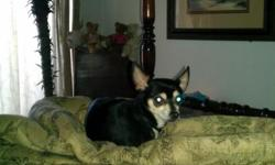 ***Reward*** missing tri colored (mostly black) chihuahua. went missing from Chatt/fortwood/utc/oak st area 9/21/12 running from smoke alarm. his name is TJ and he is not altered. he was wearing a black colloar with paw prints. please call or text me