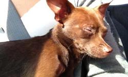 My chocolate brown Chihuahua, Taco, went missing today between 9 and 10am this morning. We live near 13th and Tyler and Taco was with my boyfriend at the time, but he had turned away for no more than 30 seconds and the dog was gone. We just recently