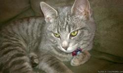 American Short-Haired Tabby: Grey and White Stripes, 10 months old, green eyes, she is bigger now than this photo  Lost near Lone Pine and Valley View, Medford