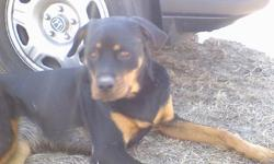 Female 2 years old Rottweiler. She was taken from my yard in Gilbert, SC. She has been spayed and is micro chipped. A reward is offered for her return. I love this dog please help me find her! 803-713-4484 staciej733@yahoo.com