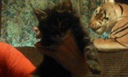 5 VERY PLAYFULL MIXED HIMALAYEN KITTENS,VERY GOOD MOUSERS,BOXED TRAINED*,DR CAT FOOD,SO CUTE!-7WEEKS OLD, READY 4 NEW HOMES ON 5/20~~~~~(509)389-8724
