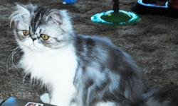 iKITTY PERSIANS PRESENT A beautiful SILVER TABBY & WHTIE PERSIAN KITTEN BOY He is Silver Patched Tabby and White, .! Comes with UTD shots, worming,. Health Guaranteed kitten care package:health shot Record,Sample Food,Toy,Photo slide and Print. He likes