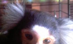 Male marmoset monkey for sale he is two years old freindly and his name is ricky he is a common marmoset and a proven breeder (my female is due in dec-jan) I do not travel so dont bother asking if I will