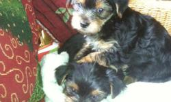 morkie 10 weeks vet ck. health warranty, current with shots and worming. --. --