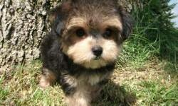 The Morkie is fairly easy to train compared to our other breeds. The Morkie has a wonderful temperament. They love to play but are also wonderful lap dogs that love to cuddle all day. Morkies bark very little. Morkies love to play outside to get their
