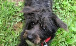 Smokey is a real charmer; he was born on New Years Eve from our silky yorkie female and white maltese male. He is very playful and quite smart. He is going outside for potty breaks and his hair is beginning to lighten and get silky like his mom?s hair. He