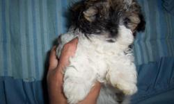 I have two male morkies for sale one is a tri color Brown black and white one white one with light brown on the ears. They are 9 weeks old,been wormed and will have first shot before leaving.Dad is Akc Maltese,Mom is tri color morkie. Mom is 6 lbs dad is