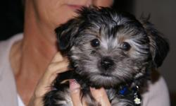 Morkie puppies - 15 weeks old, paper trained, well socialized, non-shed, healthy and ready for their new forever home. I own the parents. I only have two males left who are black/silver ($600). Will hold until Christmas with a deposit. I do not ship my
