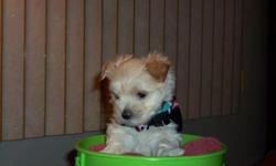 Adorable Morkie puppies, white or black/tan. Ready for Easter. Home raised. Too cute! 856-219-3668